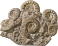 Ammoniti  ( Perisphinctes )
